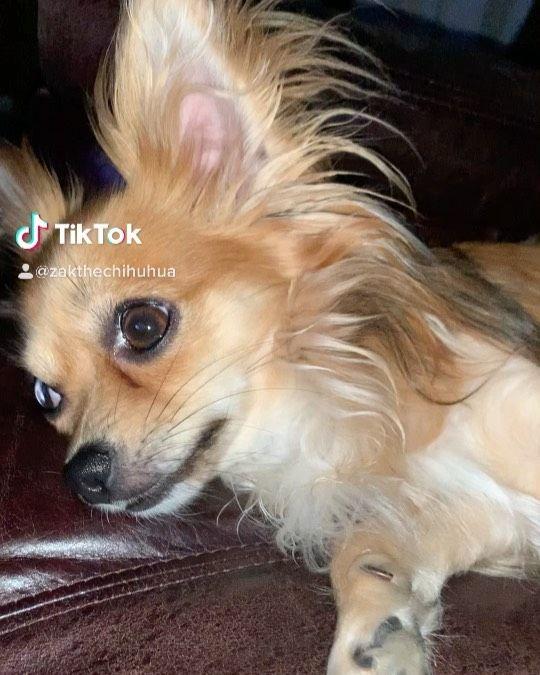 "Zak the Chihuahua🐾🇨🇦 on Instagram: ""Sounds makes my ears goes up! 🐾❤️  . . . . . #petstagram #dogsofinstagram #doglife #doglovers #therapydoggo #puppy #dogsofinsta #dogs…"""