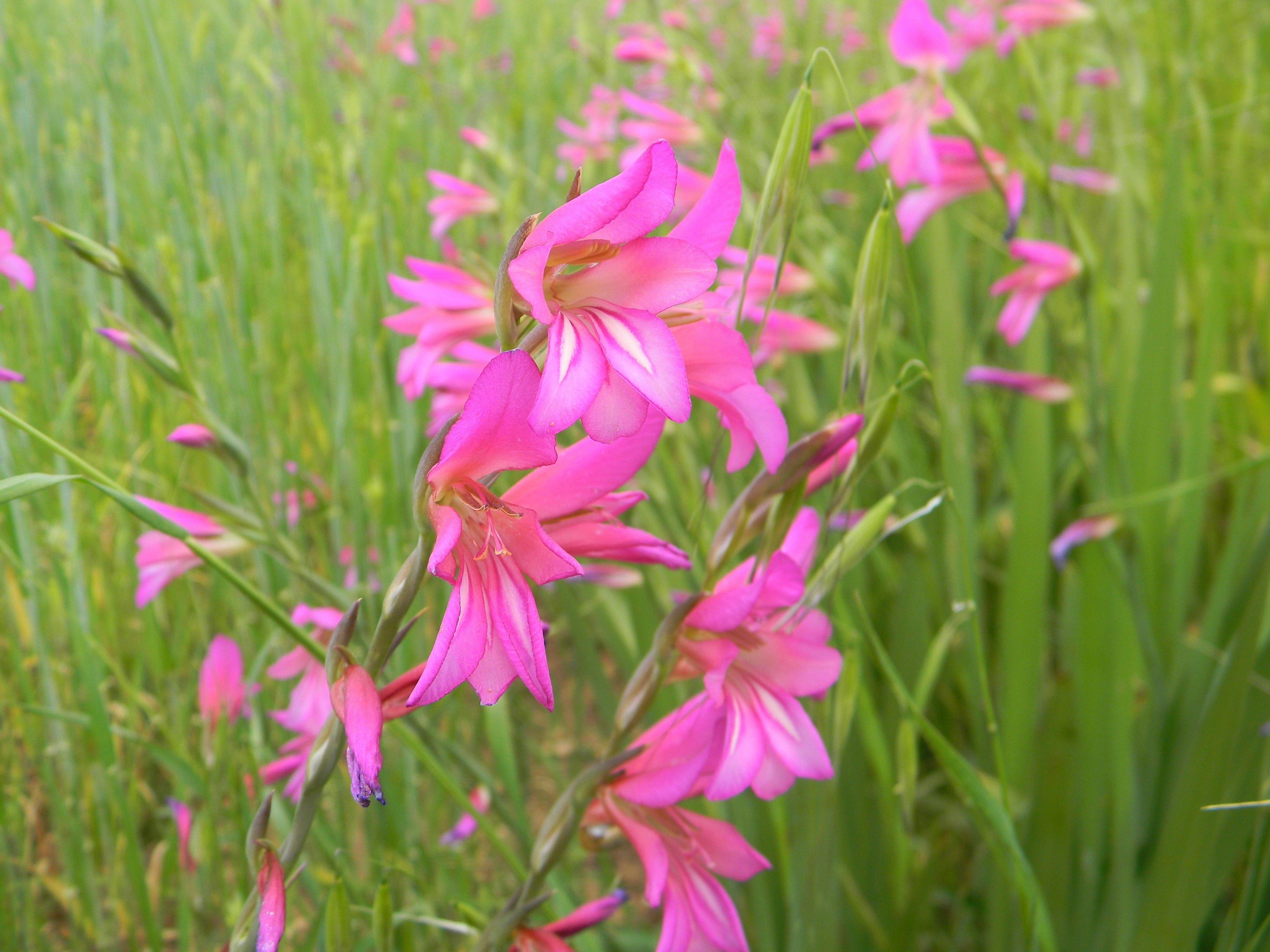 The Wild Gladiolus Gladiolus italicus