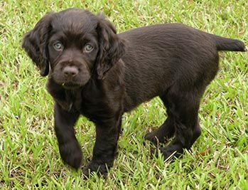 Boykin Spaniel -Dovewood Kennel-Puppies   Adorable Puppies