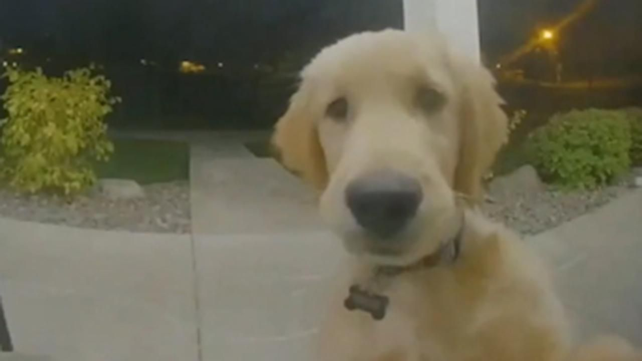 Golden Retriever Puppy Locked Out Of House Rings Doorbell To Get