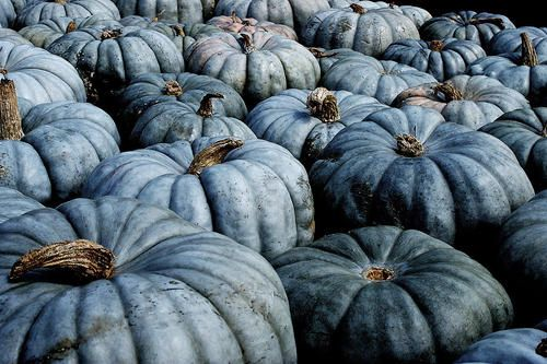 The Most Well Known Blue Pumpkin Is The Australian Blue Or