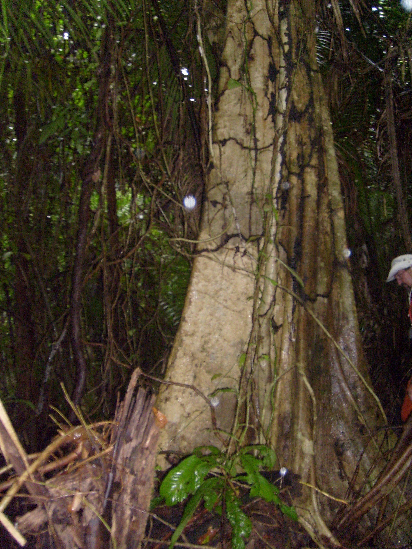 beautiful tree in Belice jungle