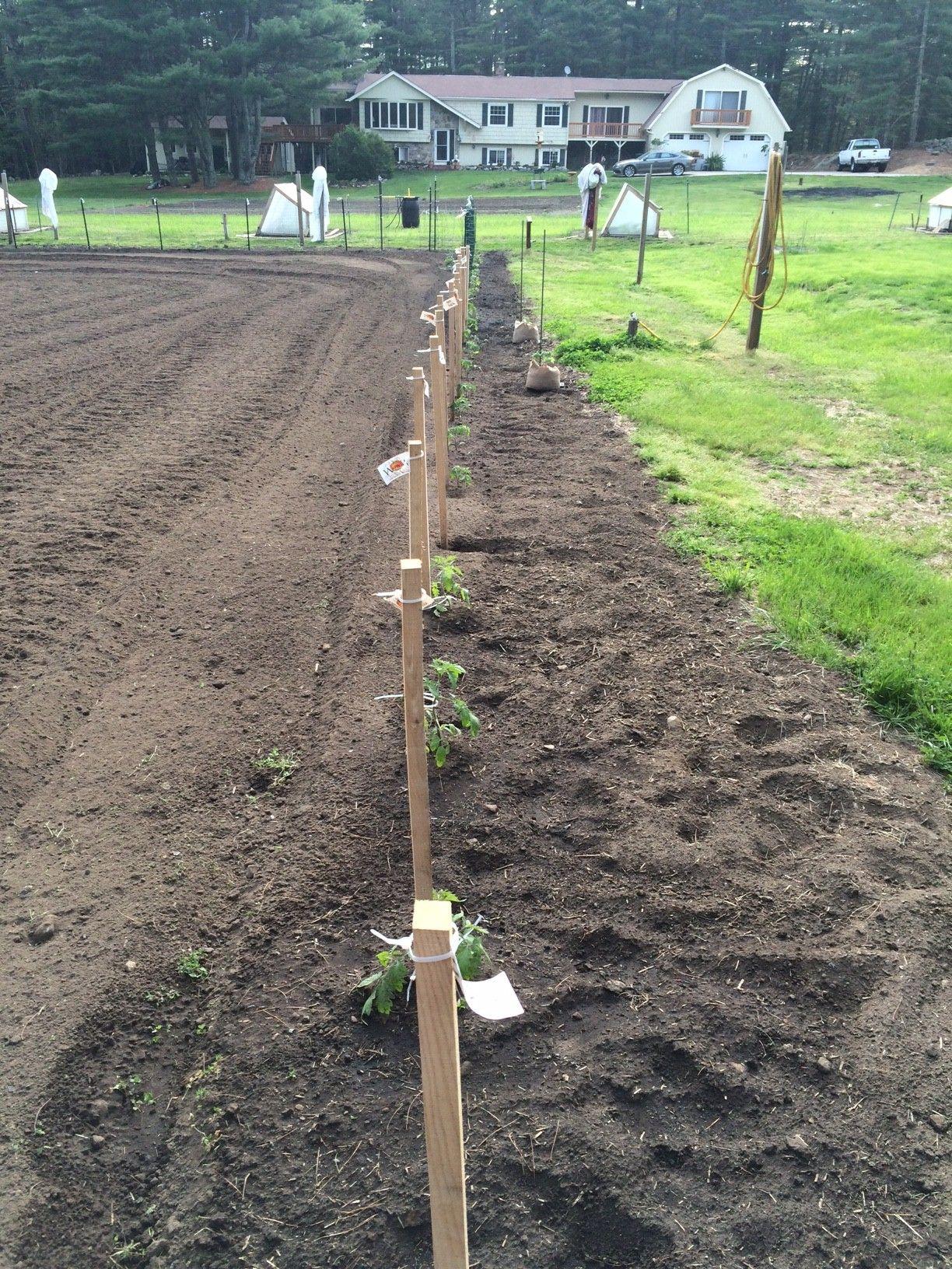 Wow Tomato Field Testing Is Underway 50 Celebrity Tomato 400 x 300