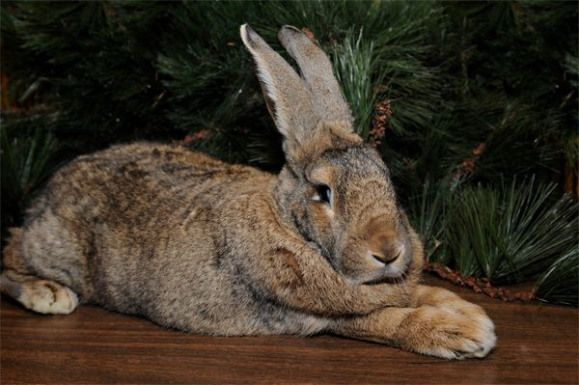Weighing about 18 pounds the Flemish giant is one of the largest breeds of domestic rabbit in the world. Herbie a Flemish giant rabbit at the Wildlife Conservation Societys Prospect Park Zoo. Photo by Julie Larsen Maher/WCS #rabbithouses