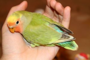 Super Rare, beautiful Opaline Pied baby lovebird ...