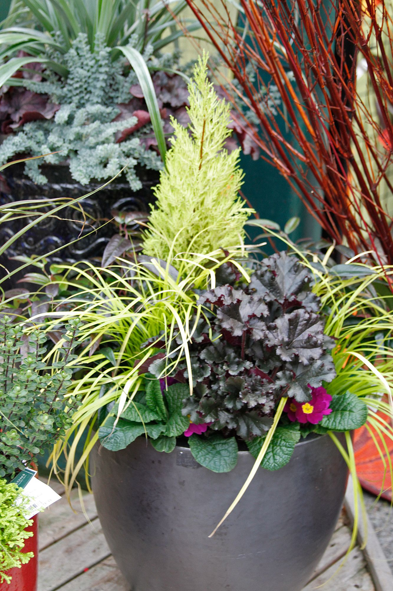 wilma goldcrest cypress acts as a focal point to heuchera carex