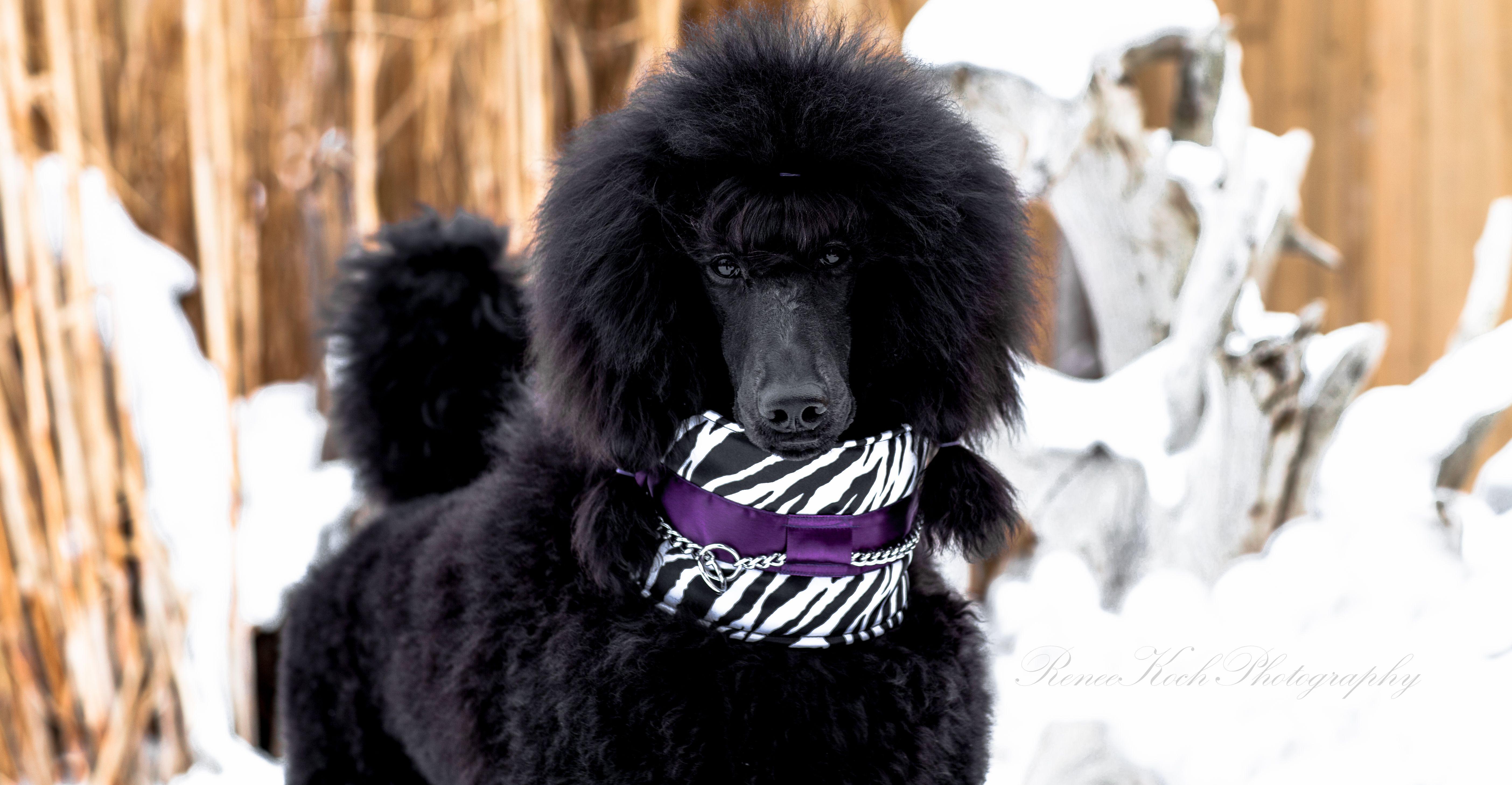 Zebra Satin Collar Dog Boutique Dog Breeds Poodle