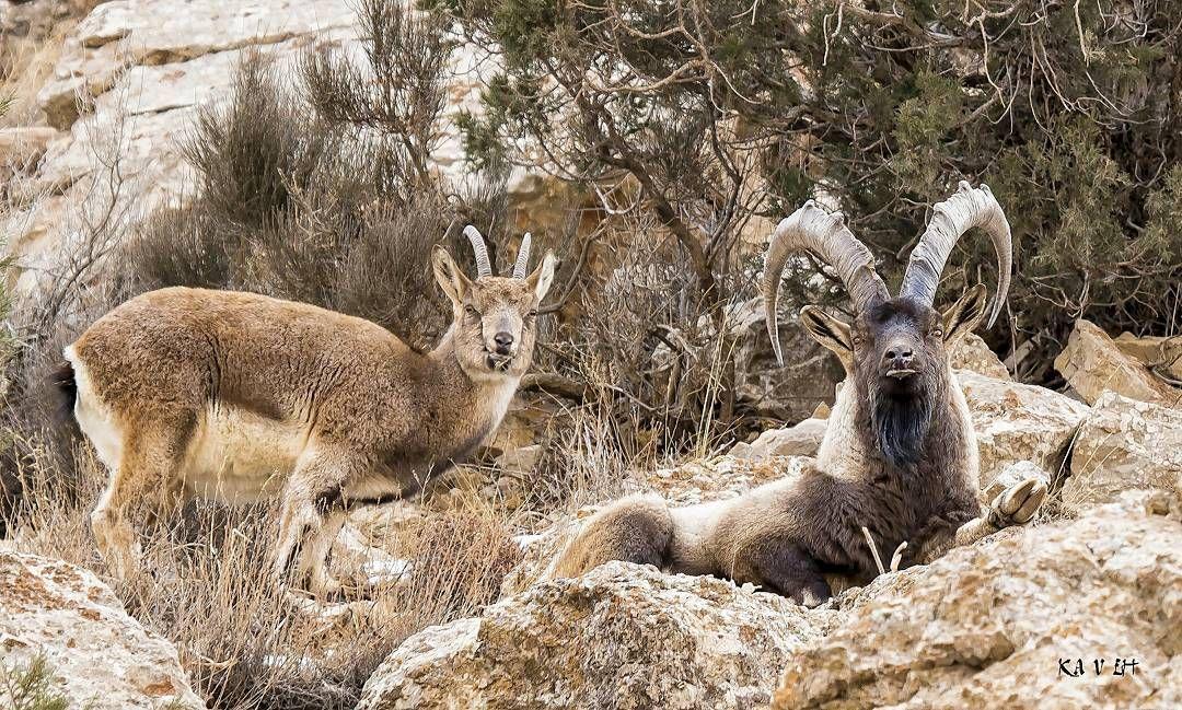 Bezoar Goat/Ibex, Parvar Protected Wildlife Area, Semnan, Iran (Persian: بز کوهی,منطقه حفاظتشده پرور, سمنان) Photo by: kavehpey