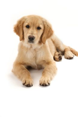 In Newtown Golden Retrievers Arrive To Comfort Survivors Click On The Pic For The Story Golden Retriever Golden Retriever Puppy Dog Person