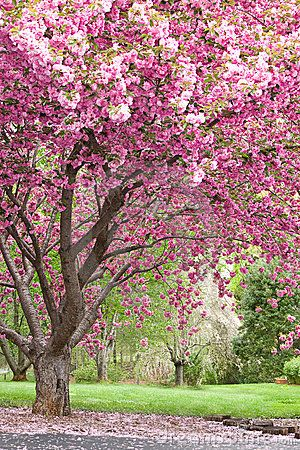 Flowering tree identification pink flowering cherry trees royalty flowering tree identification pink flowering cherry trees royalty free stock photos image 4225438 publicscrutiny Gallery