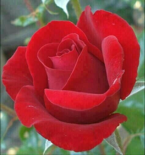Pretty red rose say have a nice day rose pinterest pretty red rose say have a nice day mightylinksfo