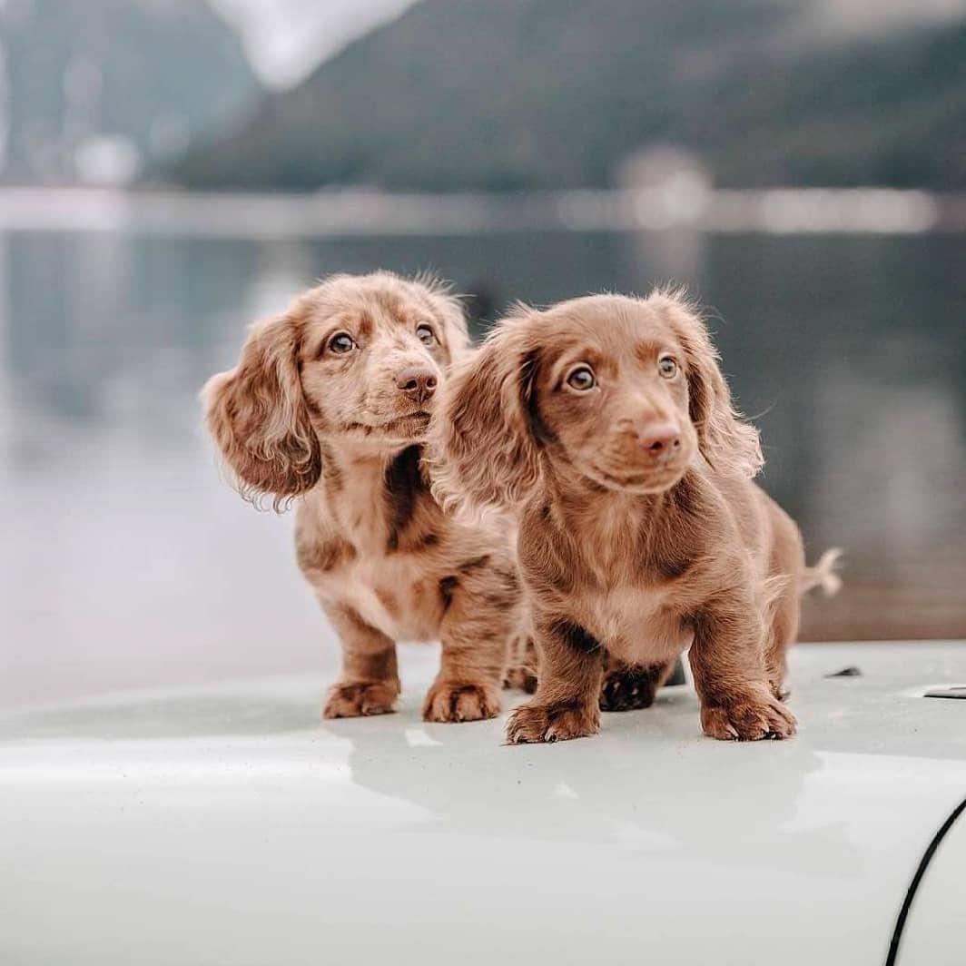 Nine West Australia On Instagram Monday Adventures Sausagedogcentral Dog Friends Dachshund Puppies Dachshund