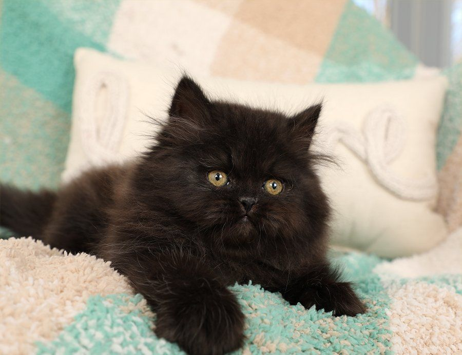 Persian Kittens For Sale Little Black Bear In 2020 Persian Kittens Kittens Persian Kittens For Sale
