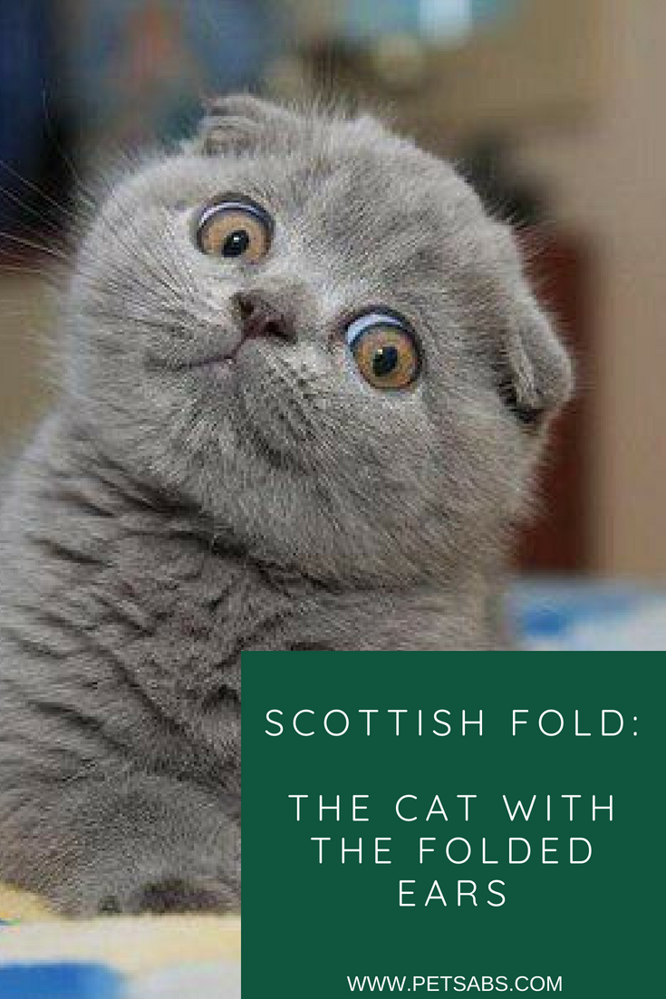 Scottish Fold The Cat with the Folded Ears Scottish