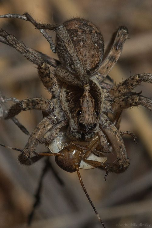 Identifying wolf spiders are usually based on  their body size  URL:http://wolfspider.org/