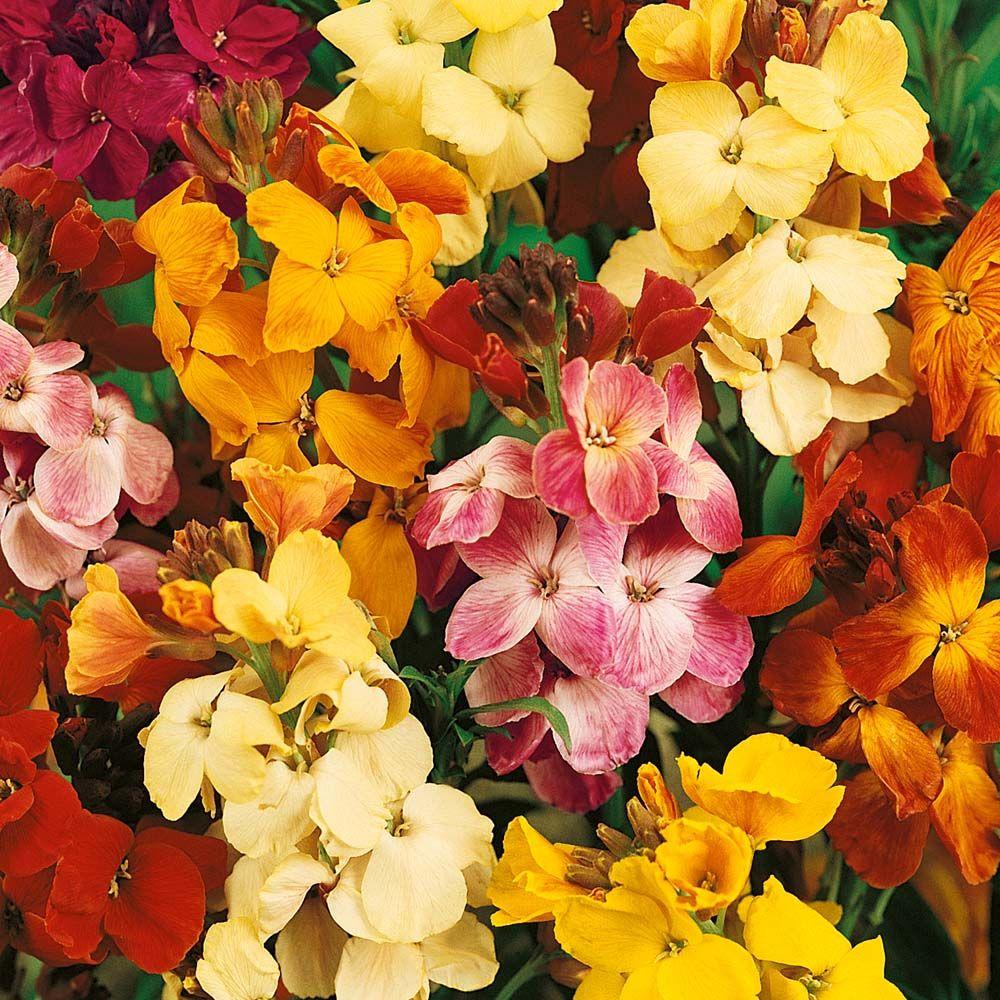 Wallflowers Flower oil, Wallflower plant, Flowers