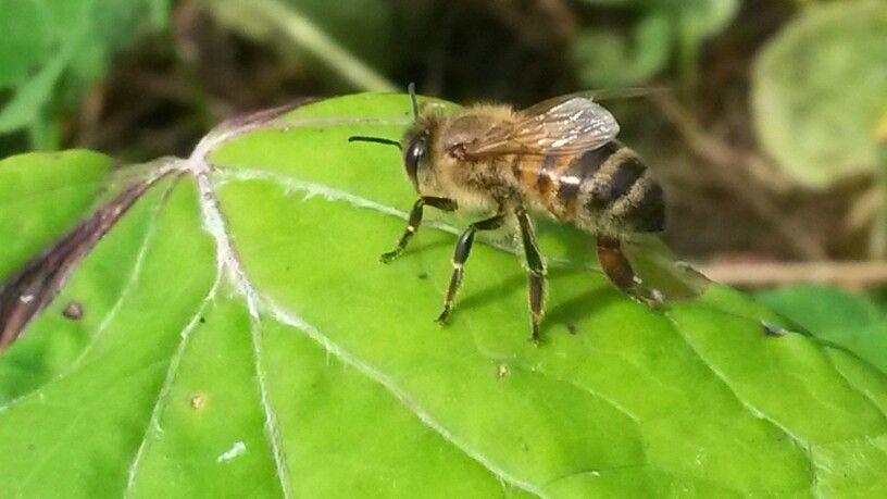 Mehiläinen nauttii syksyn viimeisistä retkistä ulkona
