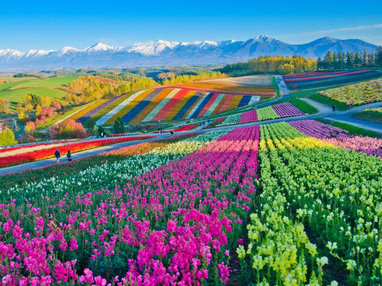 Furano's flower fields in Hokkaido, Japan, is famous for its lavender fields, but also features popp... - Thanya Jones/Shutterstock