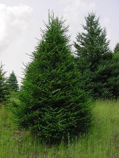 Christmas Tree Dilemmas Norway Spruce Tree Norway Spruce
