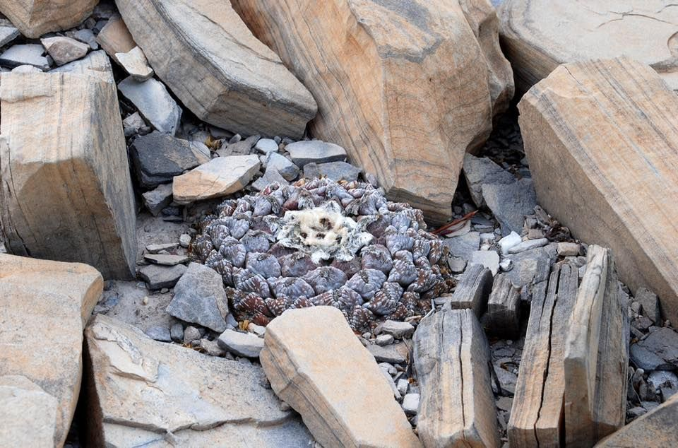A. fissuratus. Parras de la Fuente, Coahuila, Mexico
