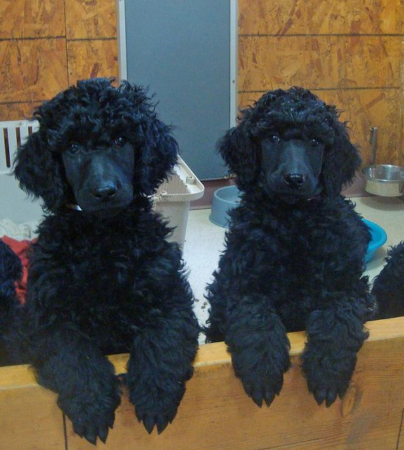 White And Pink Girls Jan 7 Poodle Black Standard Poodle Dogs