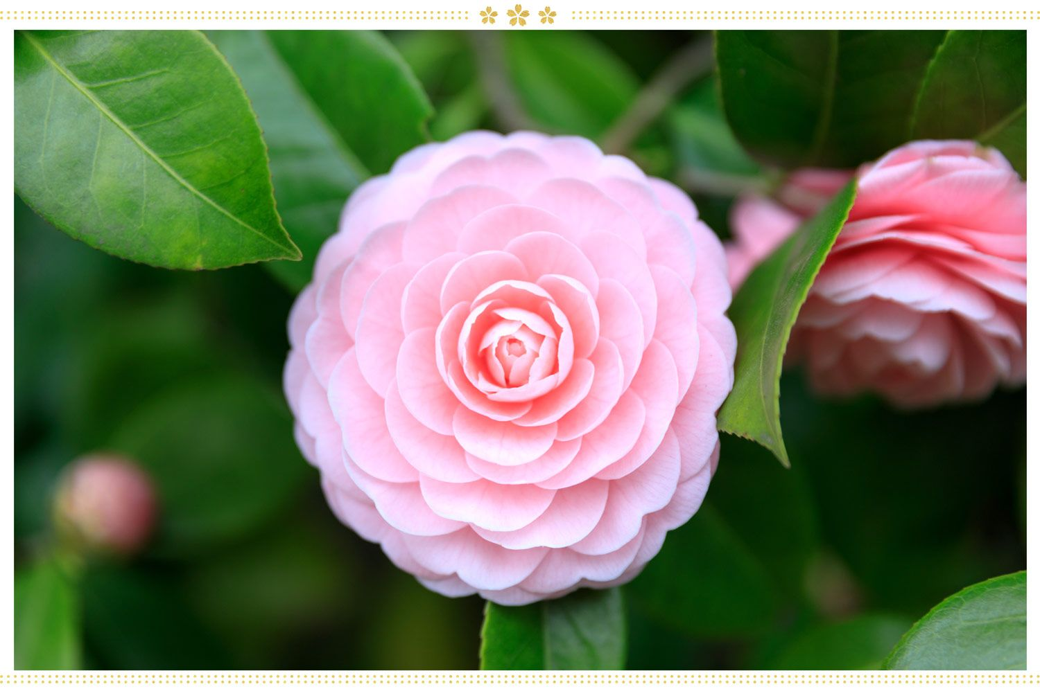 15 Japanese Flower Meanings And Where To Find Them Proflowers Blog In 2020 Japanese Flower Names Flower Meanings Japanese Flowers