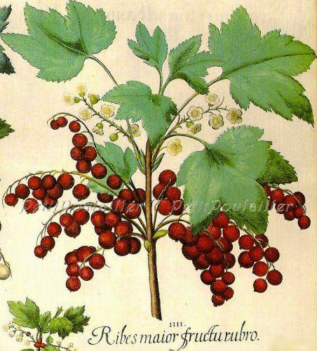 1978 Vintage Currants, Besler Natural History Botanical Lithograph
