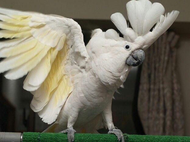 ハクタイオウム | オウム, 鳥, タイ