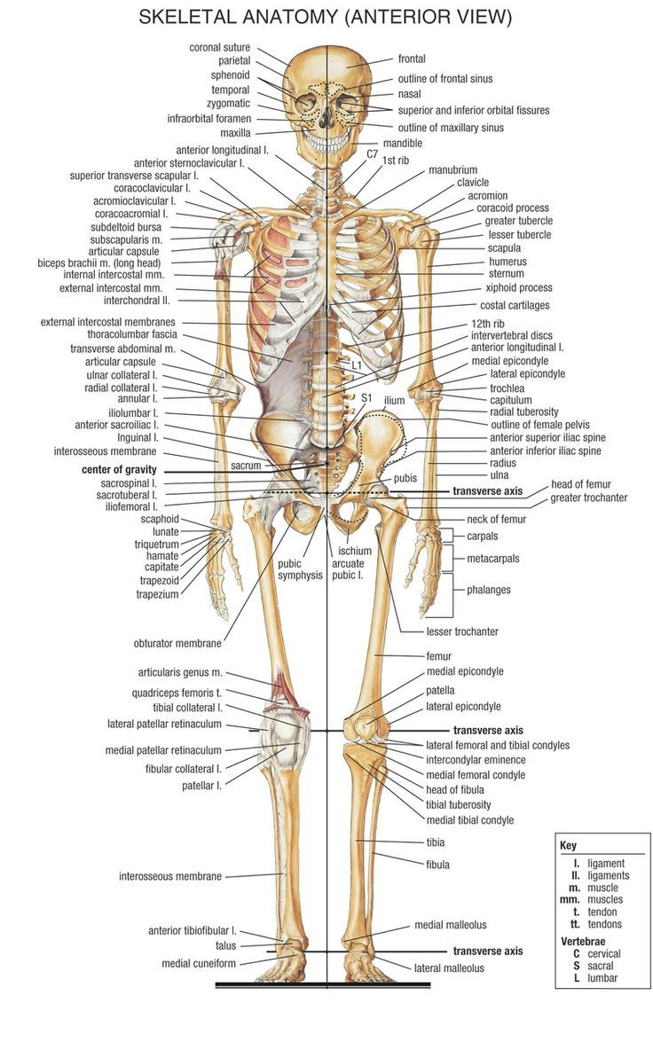 Bones Diagram Human Body Anatomy Human Body Skeleton Yoga Anatomy ...