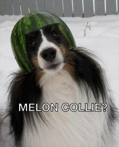 2 Funny Dog Wearing A Watermelon Hat Melon Collie Haha Funny Funny Pictures Funny Commercials