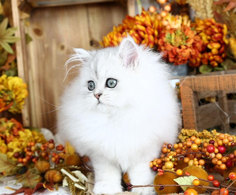 Alice In Wonderland Click Here Persian Kittens Persian Kittens For Sale Kitten For Sale
