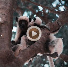 Vídeo 22 Madagascar – A la caza (fotográfica) del lemur sifaka