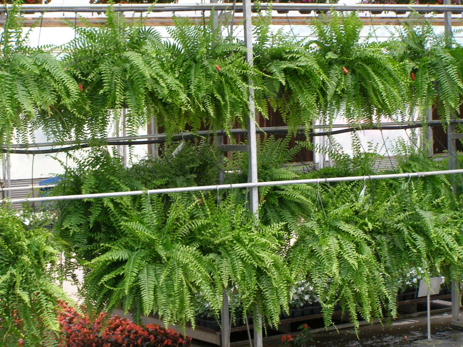 Boston fern jungalow style indoor plants and others in