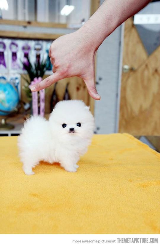 Pomeranian Puppy Teacup