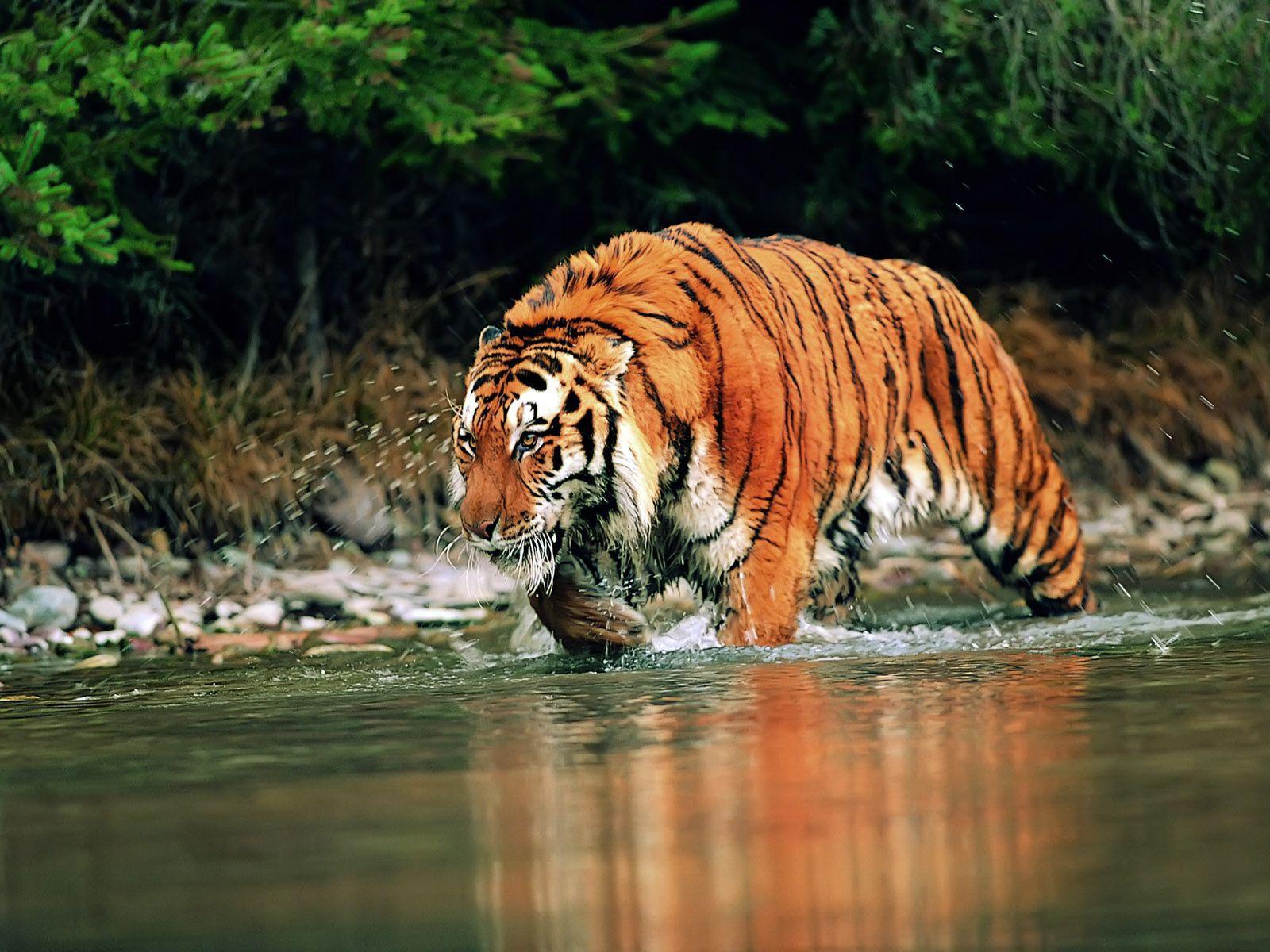 tiger wallpapers white desktop | hd wallpapers | pinterest | tiger
