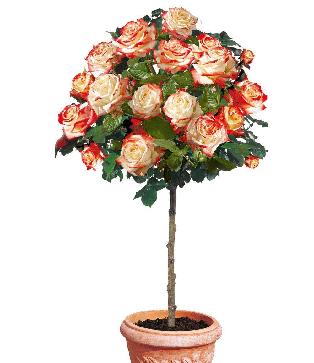 Rosen-Stamm \'Impératrice Farah®\' | Boompjes | Pinterest | Garten