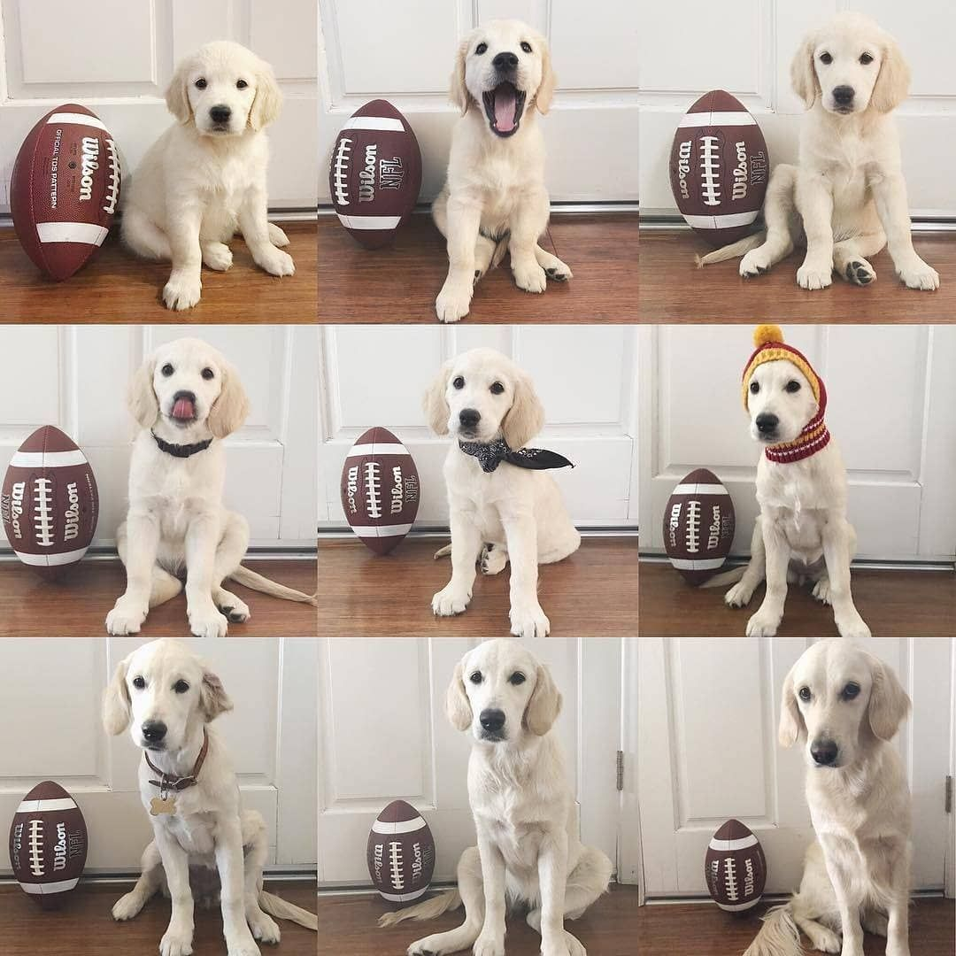 Barked By 9gag On Instagram Sometimes I Just Wish They Never Grow Up Harlow Thegolden Ba Puppy Announcement Labrador Retriever Facts Newborn Puppies
