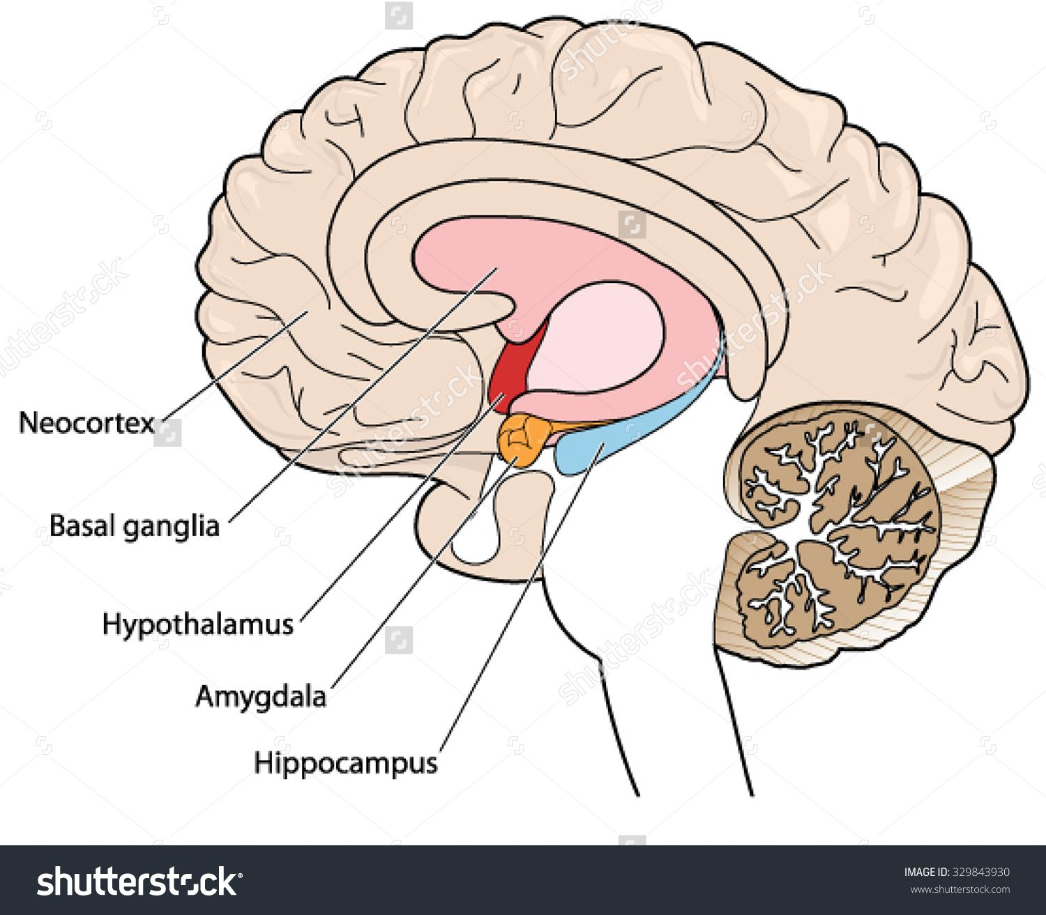 Magnificent Amygdala Mri Anatomy Collection - Anatomy Ideas - yunoki ...