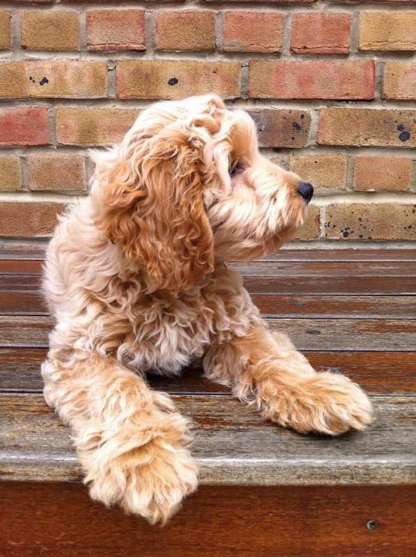 Photo gallery of Cockapoo puppies submitted by members of