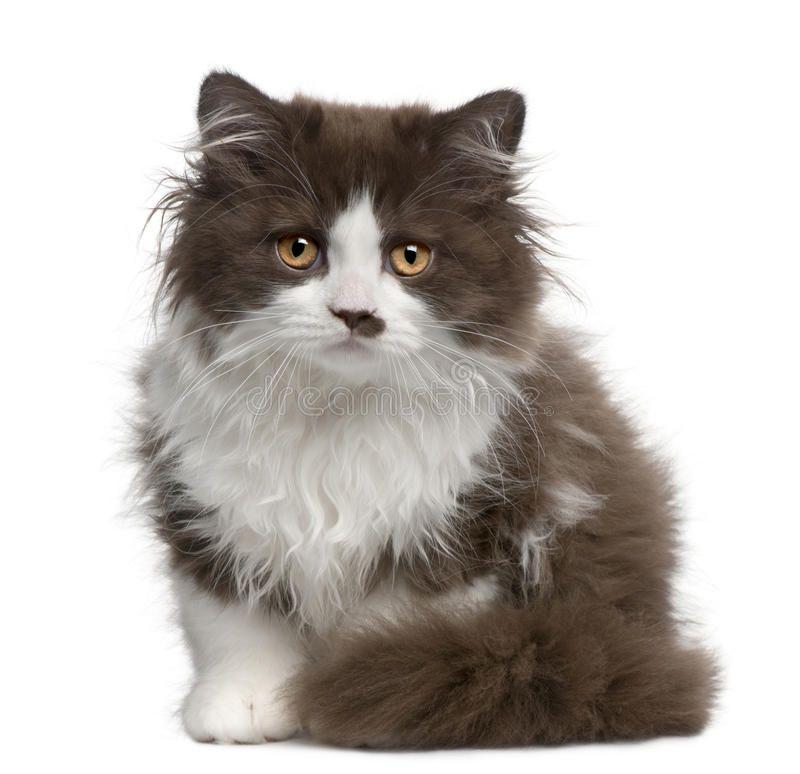 Photo about British Longhair kitten, 3 months old, sitting