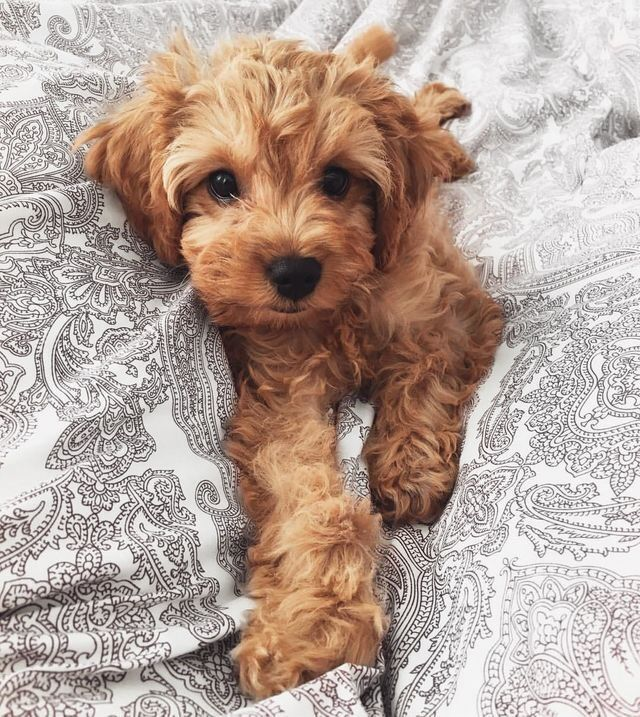 Cockapoo puppies for sale FOR SALE ADOPTION Alabama