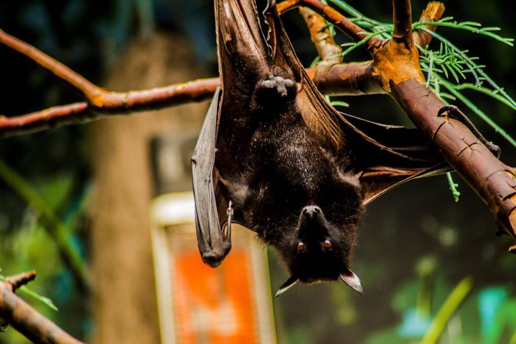 Bats are crucial to the health of the ecosystems in which