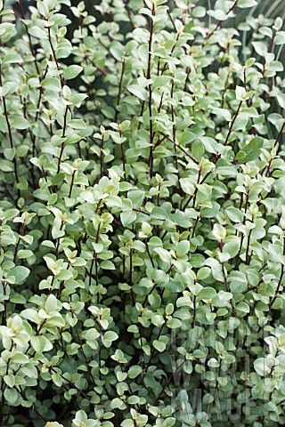 Pittosporum Tenuifolium Oliver Twist Small Leaf Hardy And Easy