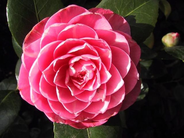 What Type Of Flower Are You Flowers Camellia Beautiful Flowers