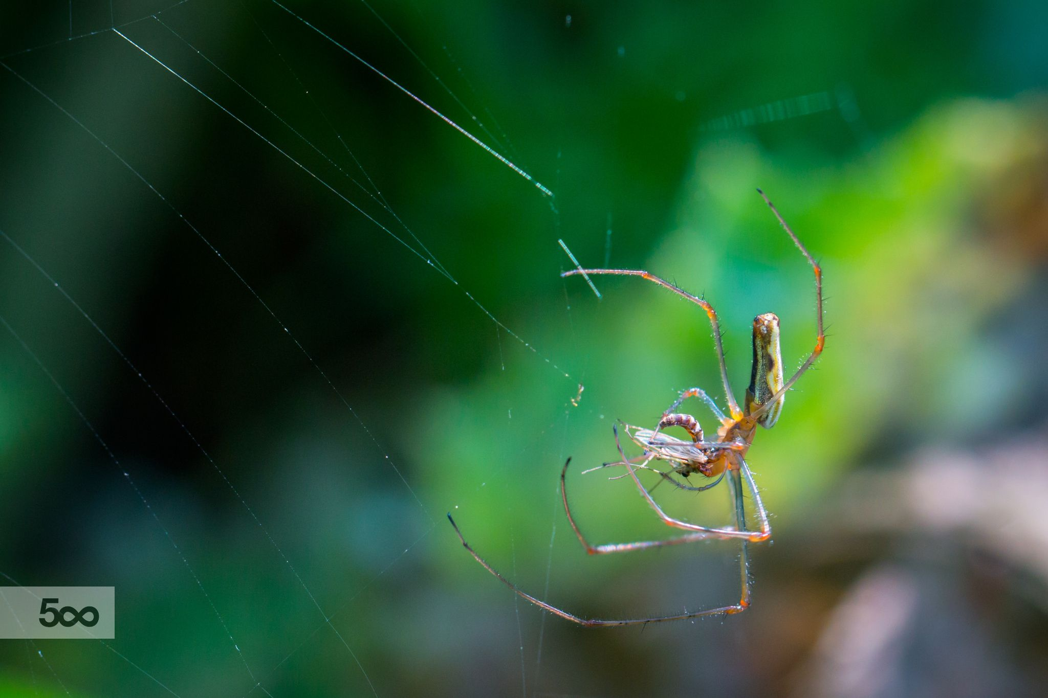Photograph Long jawed orb weaver by Jivko Nakev on 500px