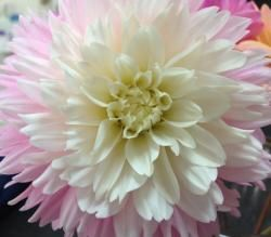Chilson's Pride- 4 Inch-Our#1Light Pink Cut Dahlia