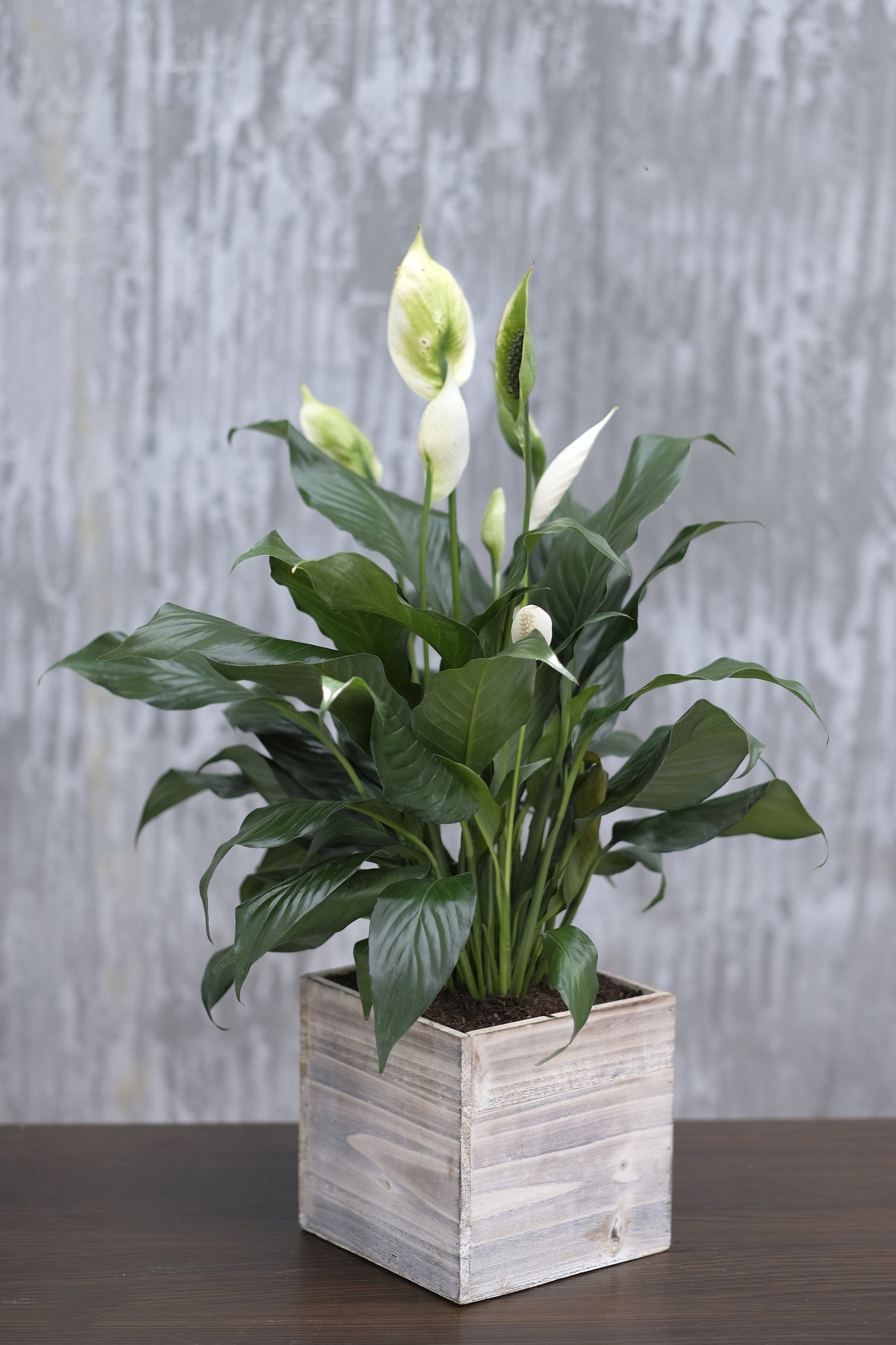 PEACE LILY | Decorations | Pinterest | Peace lily, Plants and House on classic peace lily plant, chinese evergreen house plant, marginata house plant, dragon plant, weeping fig house plant, holly house plant, artificial bamboo house plant, peace lily family plant, black gold lily plant, problems with peace lily plant, white and green leaves house plant, peace lily potted plant, croton house plant, peace plant brown leaves, peace lily plant benefits, zamiifolia house plant, droopy peace lily plant, pineapple plant house plant, funeral peace lily plant, black bamboo potted plant,
