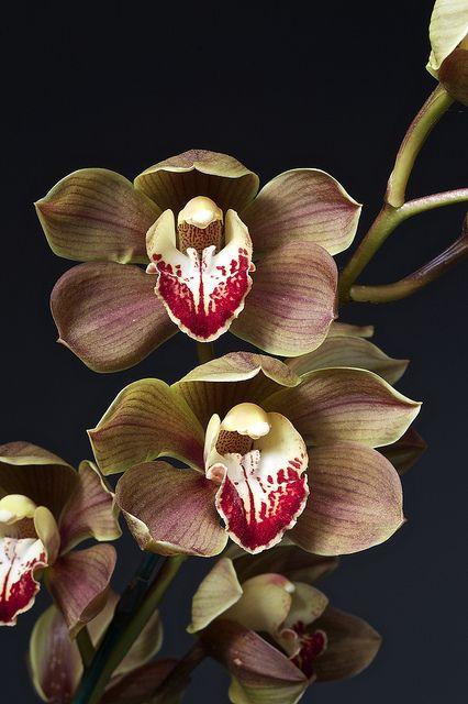 Cymbidium Warona X Cymbidium Chatterbox Orchid Flower Unusual Flowers Amazing Flowers