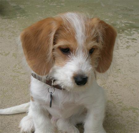 Cocker Spaniel X Beagle Google Search Beagle Mix Beagle