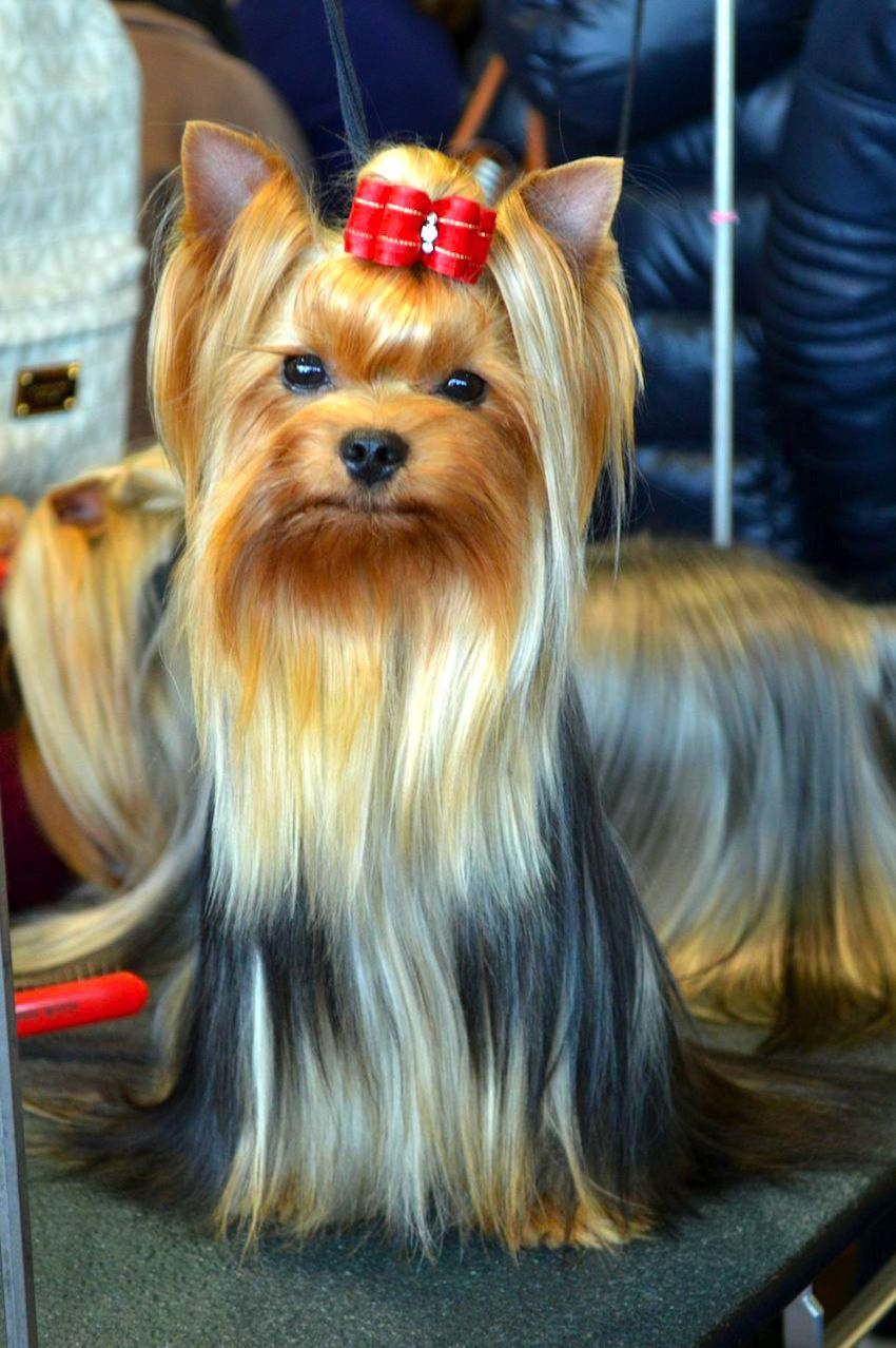 Why The Westminster Dog Show Hoopla